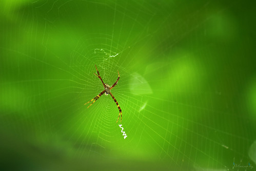 india nature horizontal insect spider asia wildlife web colorphoto westbengal maingreen kharagpur savenature signaturespider inwild august2015