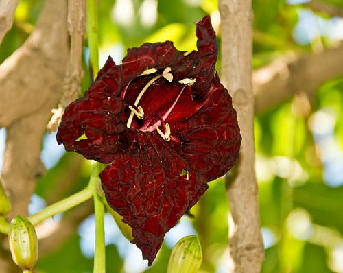 flowers plants southafrica bignoniaceae kigeliapinnata