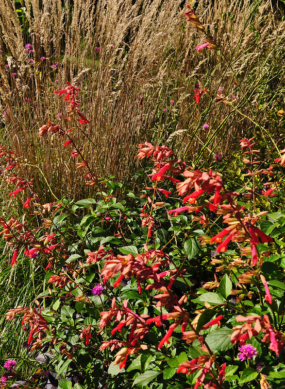 Salvia x 'Ember's Wish' (Tennis Court Garden)