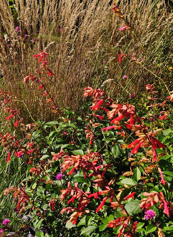 Salvia x 'Ember's Wish' (Tennis Court Garden)