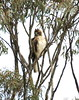 Wedge tail eagle, imm