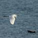 Little egret flight_2 by Tony McLean