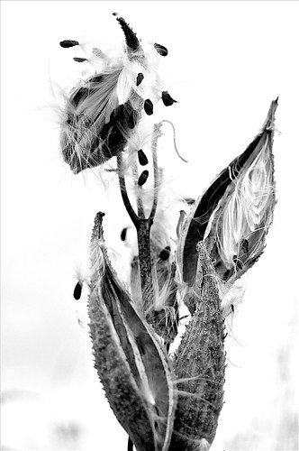 only milkweed3