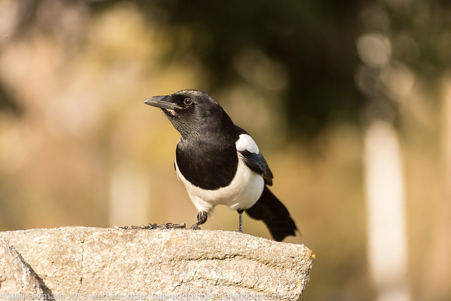 The Eurasian magpie or common magpie (Pica pica) looking in camera.