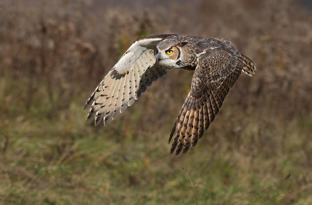 Bald owl