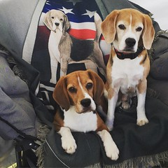 """The beagles have officially run at a National event!! Warm-Ups count, right?! :joy: Dylan was my rock star, but needed a few extra moments in the ring to really take it all in... and Dax was his Impossible self - sticking to his title of """"slowest beagle i"""
