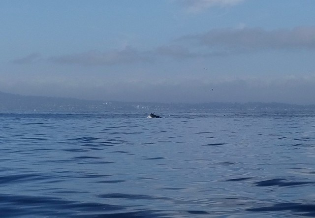 Whale watching in Monterey Bay