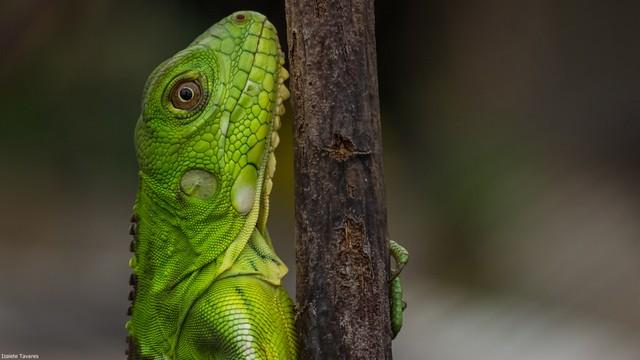 iguana jovem