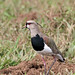Southern Lapwing, Vanellus chilensis by joseph_beck