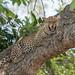 Leopard (female) (1 of 8)