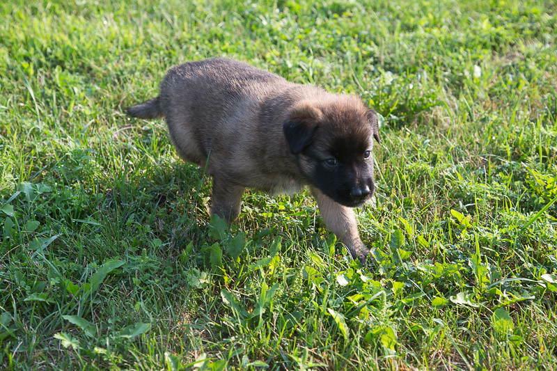 Marco/Thalys pups at 4 weeks