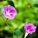 flower by nahid mammadov