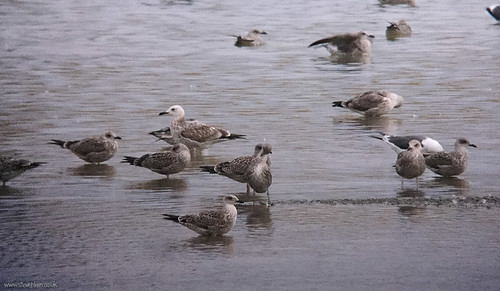 Caspian Gull, Broom GP, 17th Sept 2015