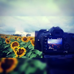 #grinterfarm #sunflower #landscape