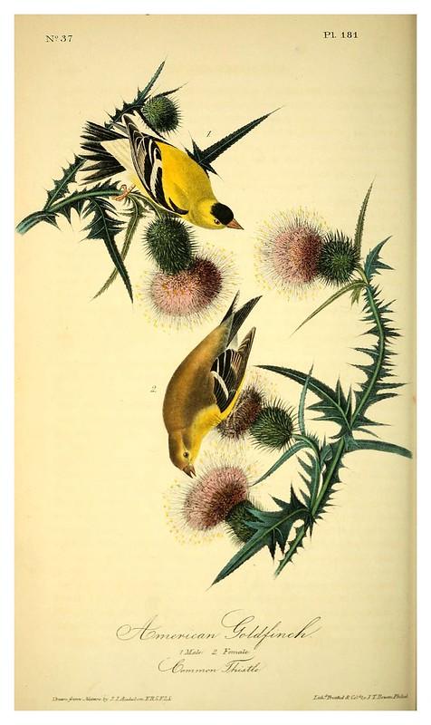014-Jilguero americano- Vol3-1840-The birds of America…J.J. Audubon