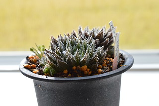 DSC_0791 Haworthia hyb. tenera x major テネラマジョール