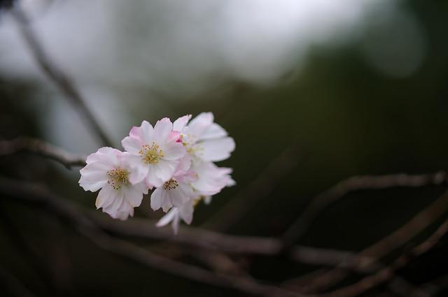 十月桜...