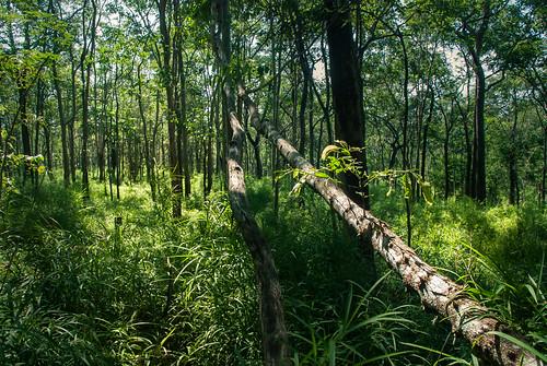trees forest landscape thailand woods dry d80 sakaerat benmarshall dipterocarp sakaeratbiospherereserve