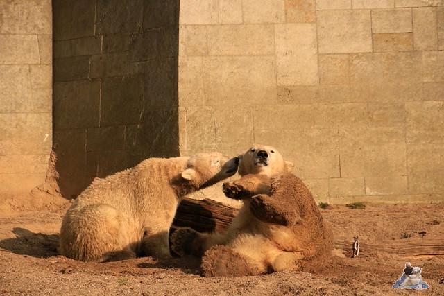 Eisbär Fiete im Zoo Rostock 31.10.2015 Teil 1  0188