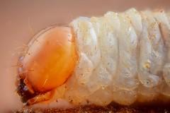 Dendroctonus micans larvae