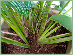 Calathea elliptica 'Vittata' with focus on its petioles, Nov 18 2015