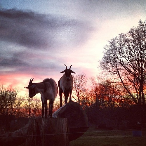 sunset farmlife uploaded:by=flickstagram instagram:venuename=whirlawayfarm instagram:venue=42607276 goatsofinstagram instagram:photo=651834254311970987144513221