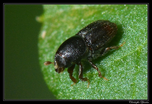 Scolyte (Scolytus sp.)