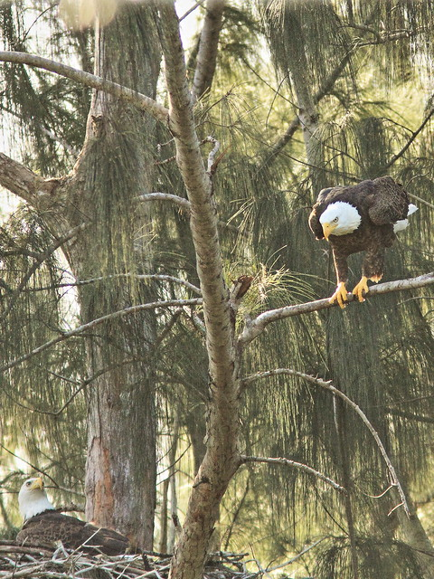 Bald Eagles happy couple 07-20151212