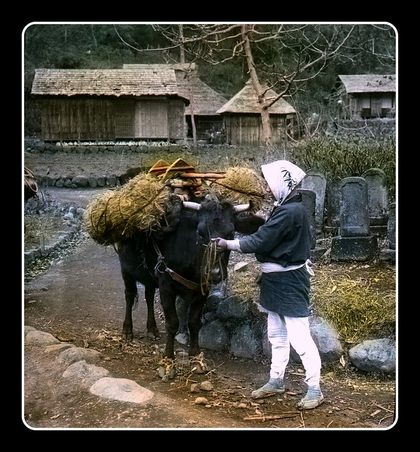 A FARMER AND HIS OX HAULING BAILS OF RICE in OLD JAPAN