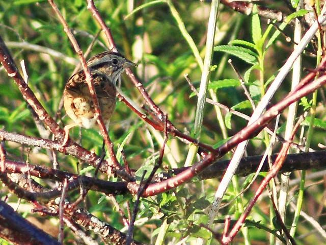 Swamp Sparrow 2-20160101