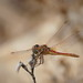 Red-Veined Darter - Sympetrum fonscolombii, Male by murrayN