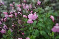 Salvia x. 'Elk cotton candy' (hybrid autumn sage), Salvia Border, National Herb Garden