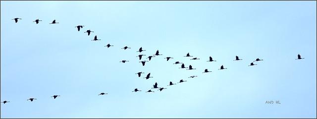 Dimanche après-midi premier passage de grues, elles volaient très haut dans le ciel, je partage avec vous ce moment.