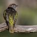 shining bronze-cuckoo (Chrysococcyx lucidus) -7039 by rawshorty