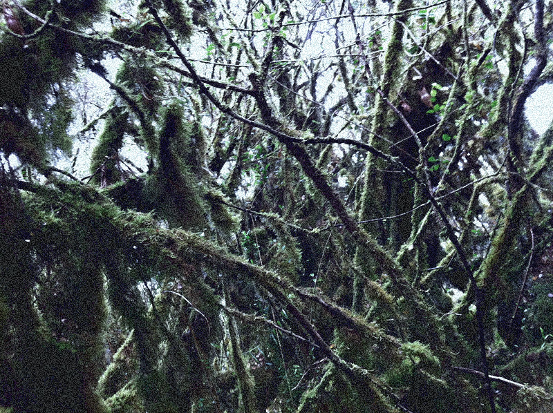 mount irau mossy forest (7)