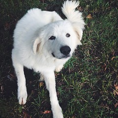 @luna.the.great wishes you a happy #nationaldogday. [she also wishes you would scratch her in that on little spot right behind her left front leg] #greatpyrenees