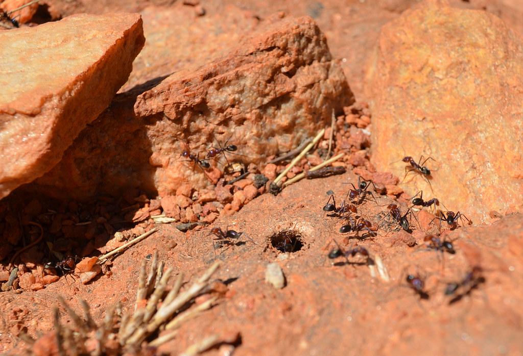 Ants - Larapinta Trail