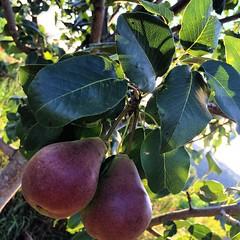 #pears #garden