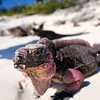 Natalia Robba Photography = Found this little guy on one of the little beaches in the Exuma Cays during my recent family trip to the Bahamas! Friendly little things! Just chilling soaking in the rays in paradise you know #iguana #bahamas #travel #travelpics #wildlife #animals #parad