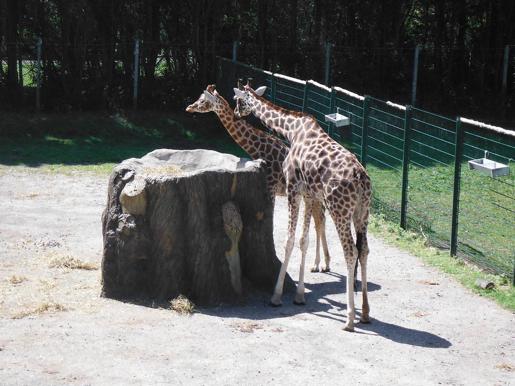 Giraffes 1