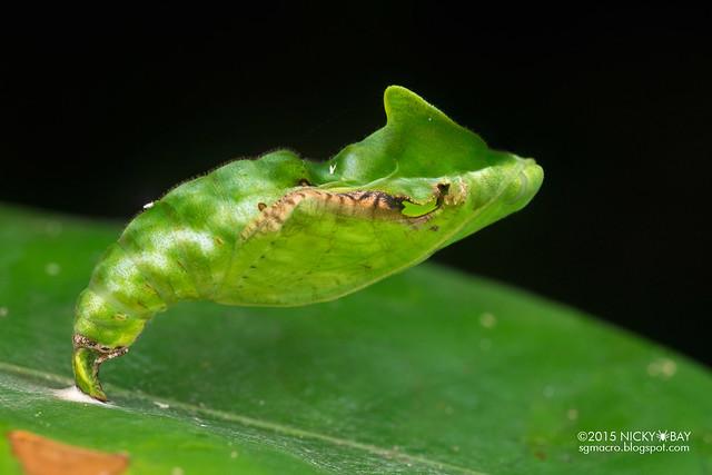 Snake mimic chrysalis (Catonephele orites) - DSC_1389
