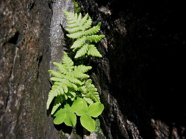 Ferns in Canada