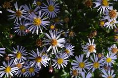 ASTER trifoliatus ssp. ageratoides 'Blaukuppel'