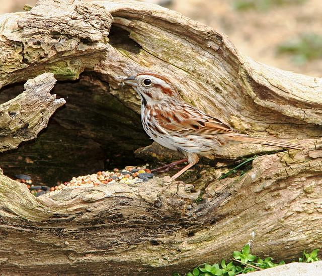 Song Sparrow 20d_5339