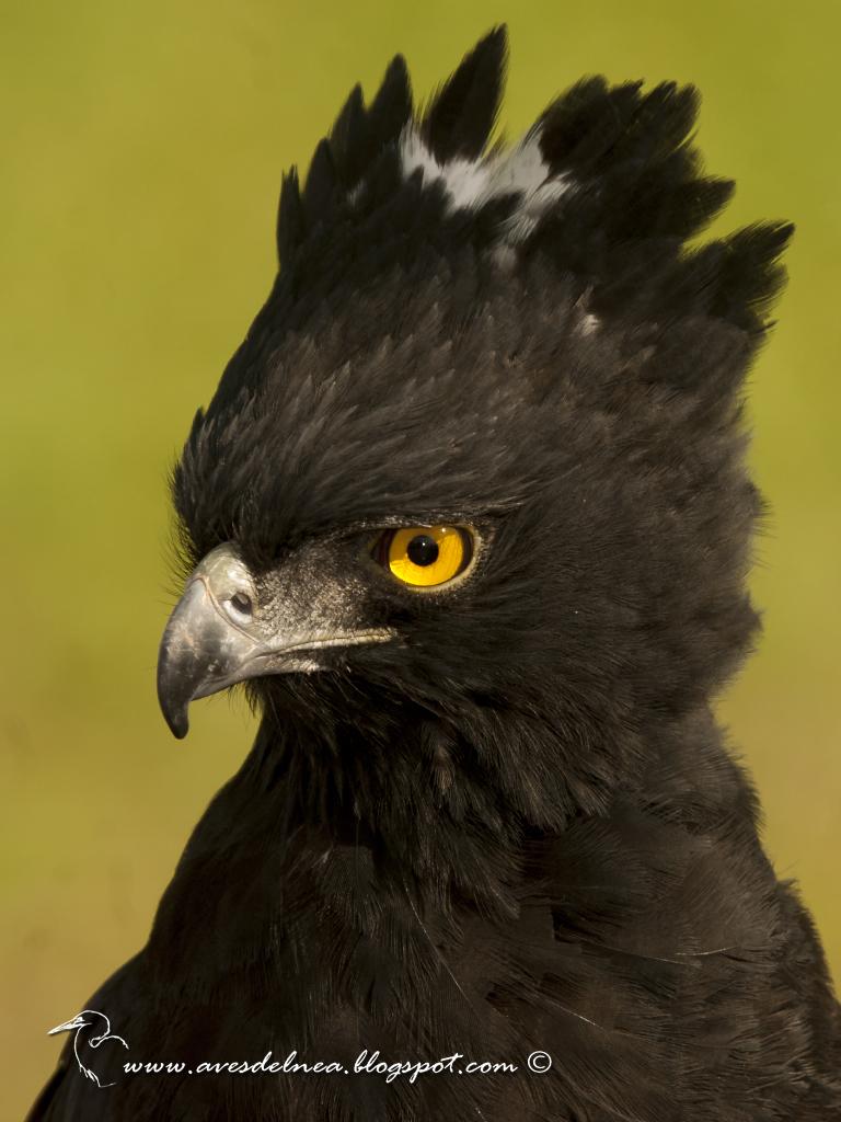 Águila crestuda negra (Black-Hawk Eagle) Spizaetus tyrannus