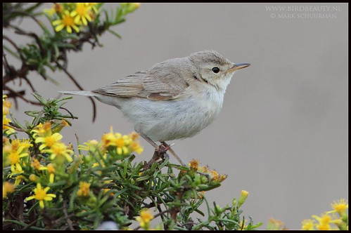 Booted Warbler Iduna caligata Vale Santo, Sagres, Algarve October 2015