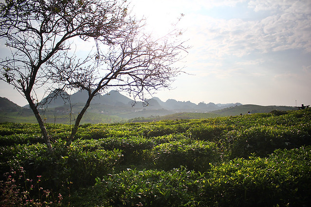 Tea plantation - Moc Chau