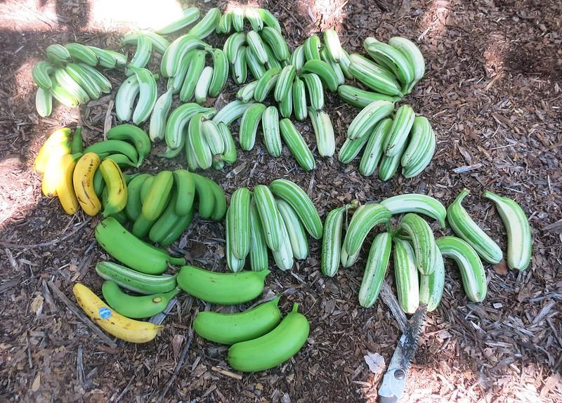 2015 11 07 Banana Harvest (13)