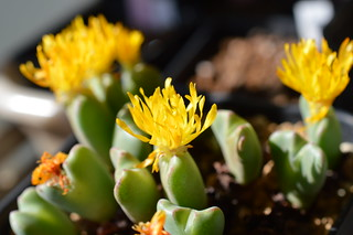 DSC_1251 Conophytum cvs. 小菊の舞 コノフィツム