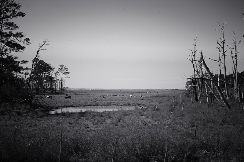 chincoteague-14